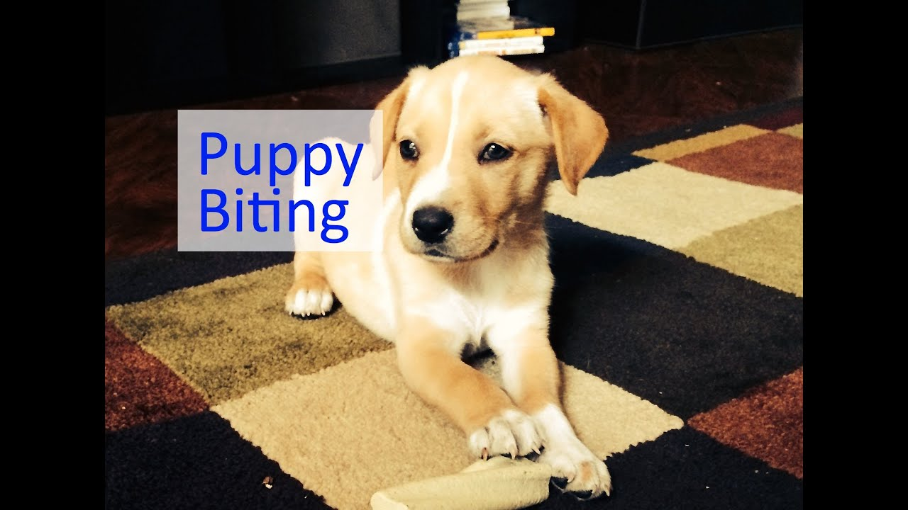 biting puppy a complete guide to stopping puppies biting - HD 2099×1536