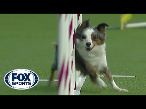 Pixel takes home the 12' division at the 2019 WKC Masters Agility | FOX SPORTS