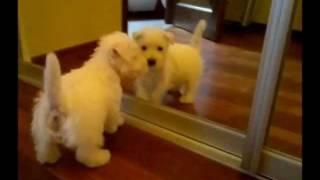 Zori - West Highland White Terrier Szczeniak 8 Tyg. :)