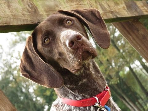 Animal Planet S Dogs 101 The German Shorthair Pointer Funnydog Tv