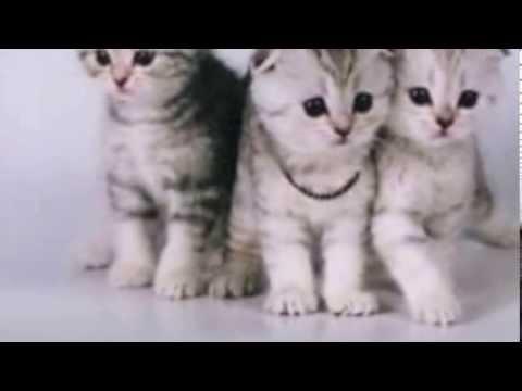 Продажа котят и кошек, купить котенка или кошку