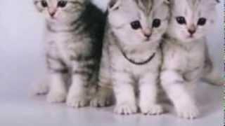 """Питомник кошек """" SILVER SHARM """". Британские и шотландские вислоухие котята. Коты для вязок. Москва."""