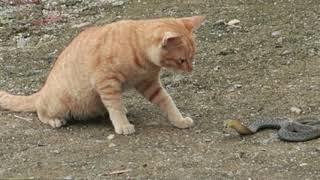 Con Mèo Vàng Nhà Mình Vần Rắn | Dân Tộc Tây Bắc
