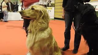 ドイツ原産の番犬Hovawart(ホファヴァルト) Hovawart Rasse präsentat...