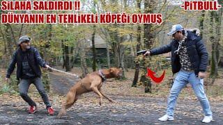 PİTBULLU SİLAH BİLE DURDURAMADI ( Dünyanın En Tehlikeli Köpeğiymiş ) Aggressive pitbull, dog attack