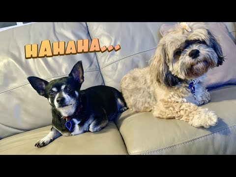 funny dog compilation 😂| Cute dog compilation | Funny dog videos | Shih tzu & Chihuahua