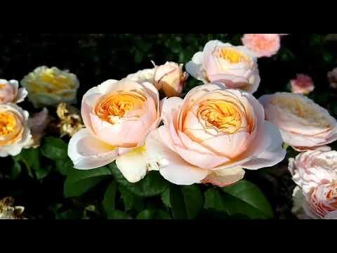 Роза Джульетта созданная Ромео