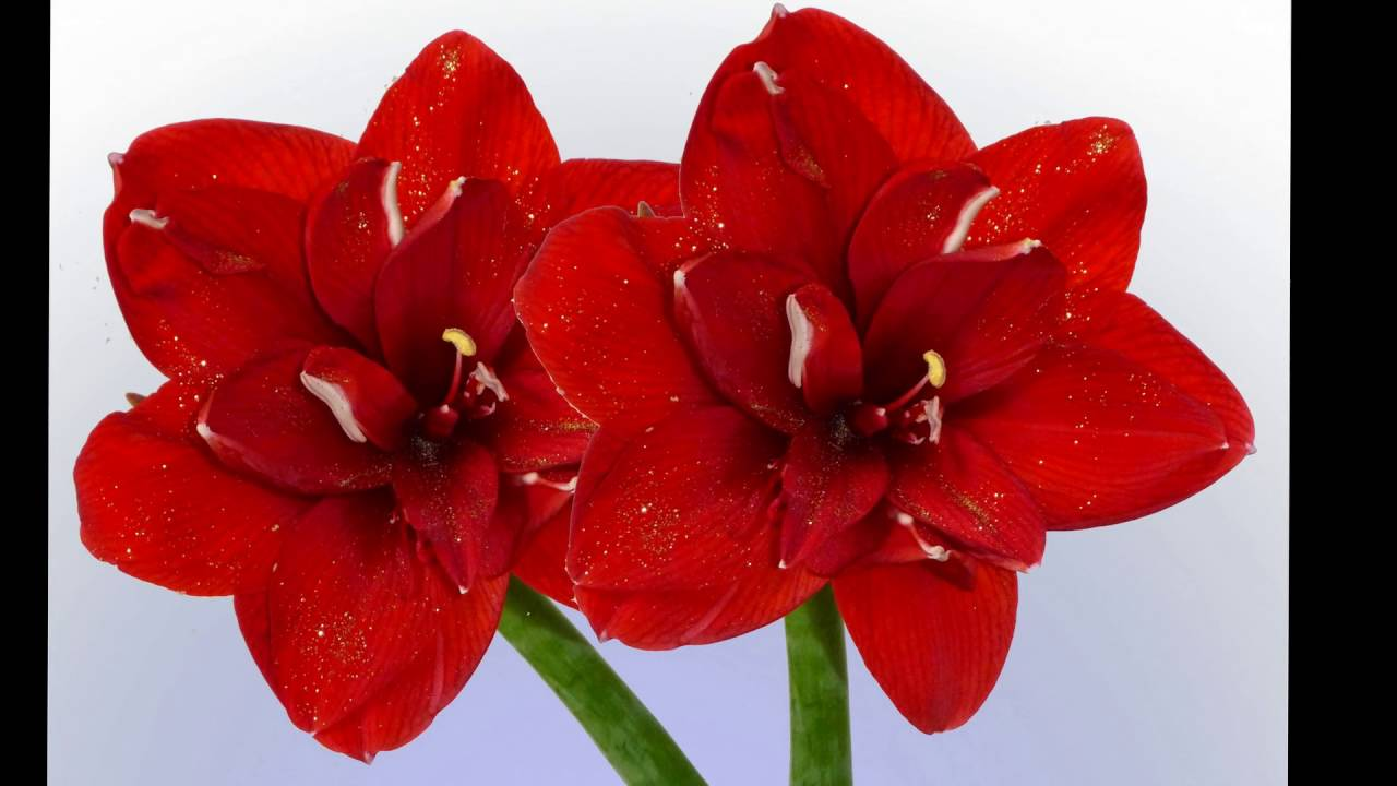 Amaryllis flower meaning history of amaryllis flower beautiful amaryllis flower meaning history of amaryllis flower beautiful flower youtube izmirmasajfo