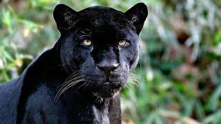Пантера - Самое грациозное животное,опасные животные черного моря!