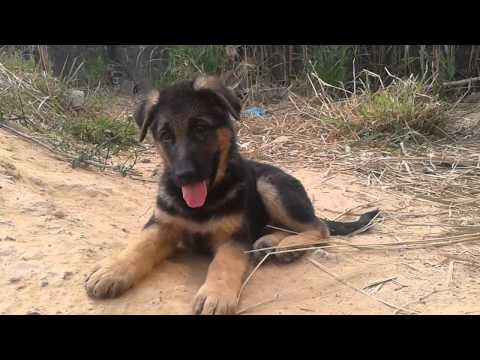 Trại chó Bec Gie Giống Đông Anh - Tỉnh Đồng Nai (