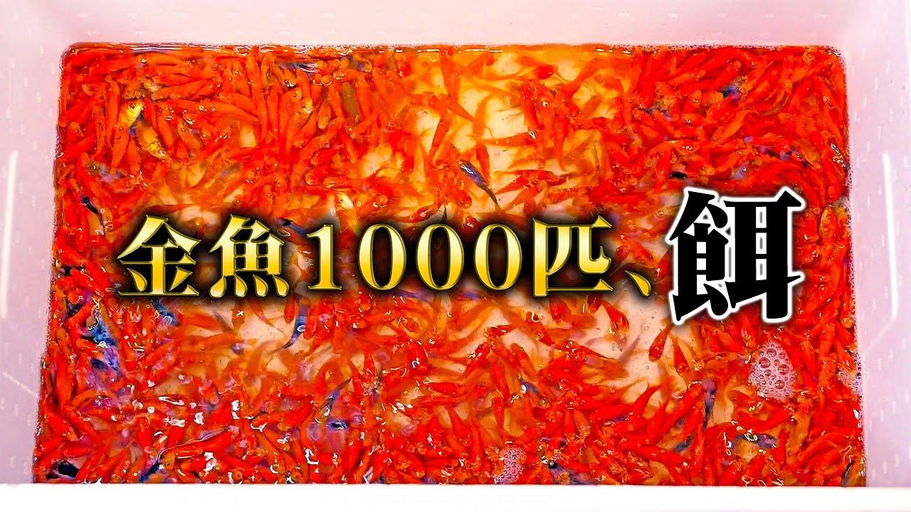 【閲覧注意】1000匹の金魚を2週間放置した腹ペコの古代魚水槽に入れてみたら...