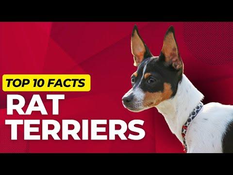 Rat Terrier Dogs 101