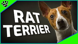 Rat Terrier Dogs 101