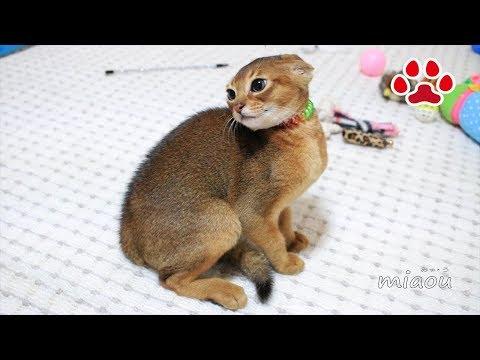 こわ!三毛猫こわ!初めて仔猫との対面【瀬戸の猫部屋日記】Scary! First meeting with kittens and Mi-ke.