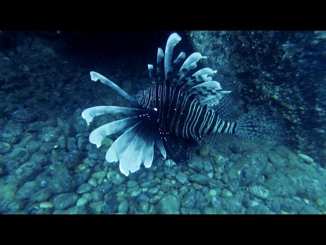 Lionfish in the Mediterranean - TUDAV