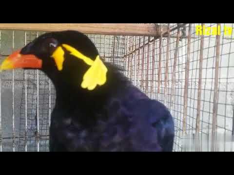 Burung Beo Salam