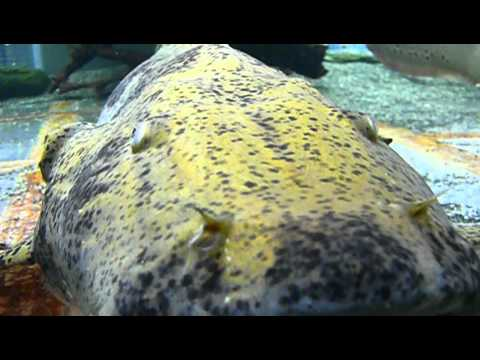 Goonch Catfish @ Tropiquatics! 10/3/2013 from YouTube · High Definition · Duration:  34 seconds  · 1,000+ views · uploaded on 10/3/2013 · uploaded by Tropiquatics