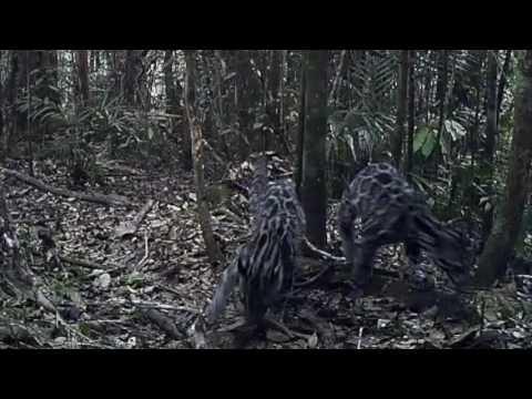 Sunda Clouded Leopard Family Group