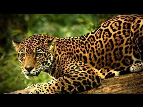 L'extinction du jaguar - Documentaire animalier 2017