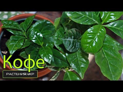 Кофейное дерево в домашних условиях / Кофе арабика комнатное растение