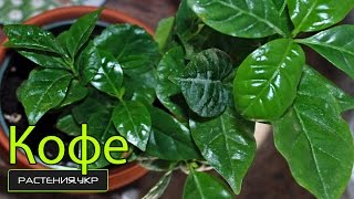 Кофейное дерево в домашних условиях / Кофе арабика комнатное растение(Кофе, также Кофейное дерево (лат. Coffea) — род вечнозелёных растений трибы Кофейные (Coffeeae) семейства Мареновые..., 2014-10-15T06:00:01.000Z)