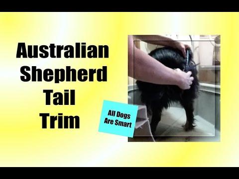 How I Trim An Australian Shepherd Tail - Docked
