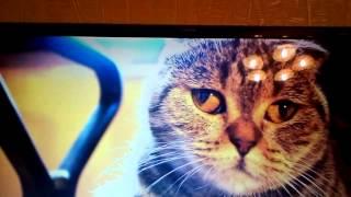 Видео про кошек и характер сиамских кошек