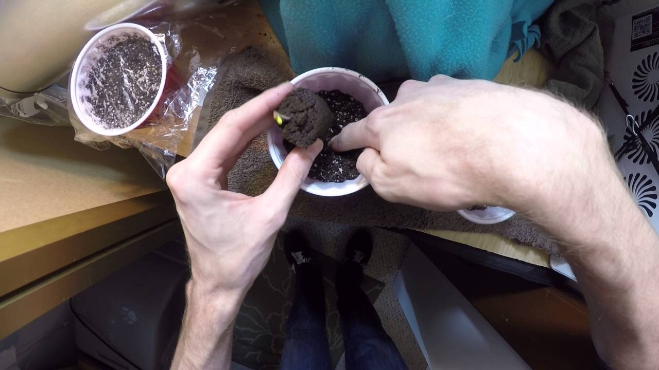 1 Seed Sprouted Transplant Rapid Rooter To Soil Youtube