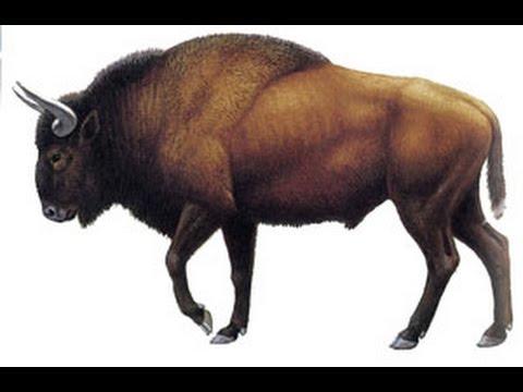 Q Es Bisonte El Bisonte Europeo - Y...