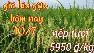 Giá lúa gạo hôm nay ngày 10 tháng 7 cập nhật mới nhất