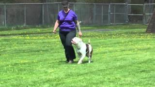 American Bulldog Ipo Bh - North Jersey Schutzhund & Police Association