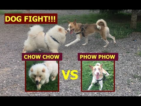 DOG FIGHTER - Chow Chow Vs .... FULL HD