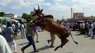 Kangayam bull / Kangeyam bull