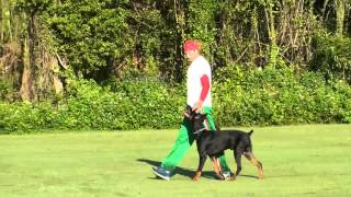 Dog Training -  Competitive Focused Heeling With Ivan Balabanov