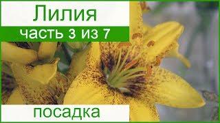 Посадка лилий в саду: как и когда сажать лилии весной и осенью