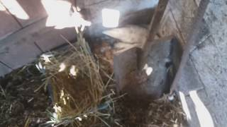 Гнездо для мускусной утки которая спрятала яйца / индоутки прячут яйца что делать? / утки шипуны