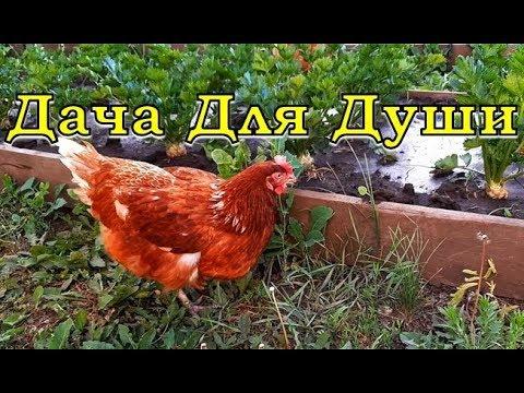 КУРИНЫЙ ПОМЁТ как удобрение на огороде������