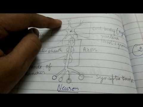 Neuron-basic functional unit of nervous system