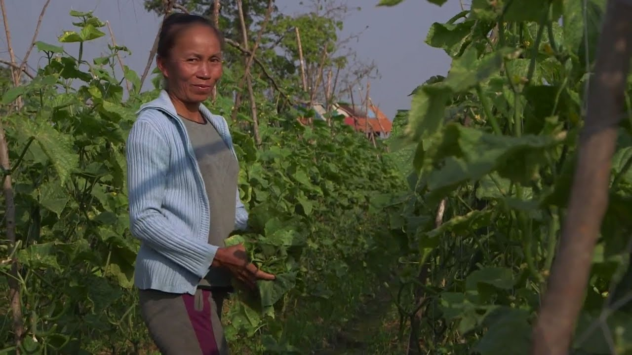 High-value Crop Boosts Farmers' Income in Lao PDR