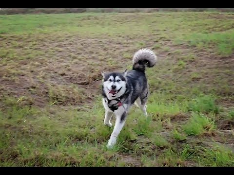 Obedience Recall Training With Malamute!!!!!