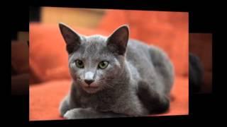 Голубые коты - чудо природы