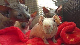❗Sphynx Kittens MEET New Family Member Guinea Skinny Pig LUISToo Cute!