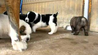 Gruodas central asian ovcharka puppies are playing