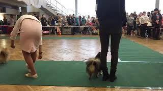 Выставка собак в Рыбинске 13 октября 2018. Запись видеотрансляции с рингов. часть 1