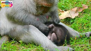 New Technique of deny milk Tima mom massage & groom Timo baby until to sleep | Monkey Daily 1734