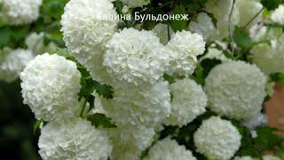 Лучшие кустарники для сада и дачи. Цветы и вдохновение.