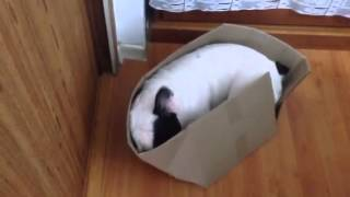French Bulldog Channels Inner Cat With New Box