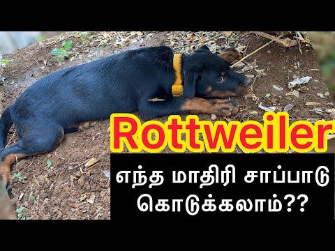 Rottweiler க்கு எந்த மாதிரி Food கொடுக்கலாம்? | Rottweiler Tamil | Pet Zone Tamil