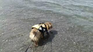 相変わらず、海に行くと大興奮の陸! とりあえず波打ち際を走りすきを見...