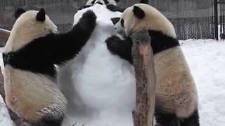 トロント動物園のジャイアントパンダ一家、雪だるまで思いっきり遊ぶ